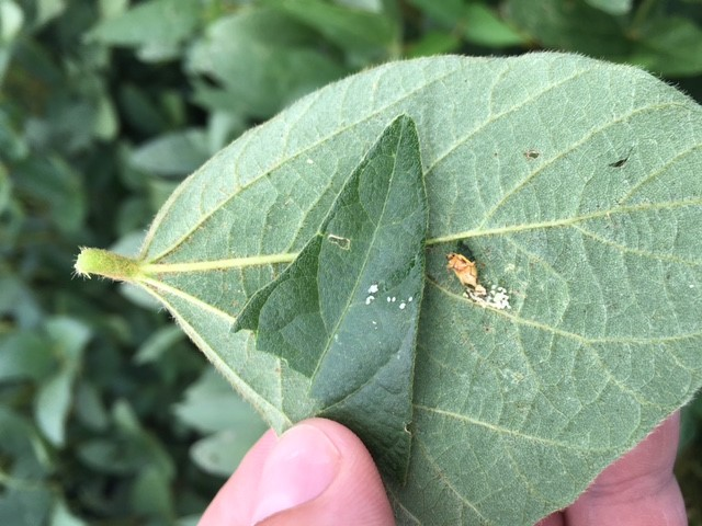 Northern Corn Root Worm Eggs
